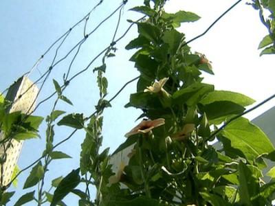 Проволочный навес над виноградом